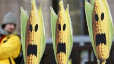 Photo of New GMO Studies: Use of 'Substantial Equivalence' Principle is Pseudoscience—Danger!